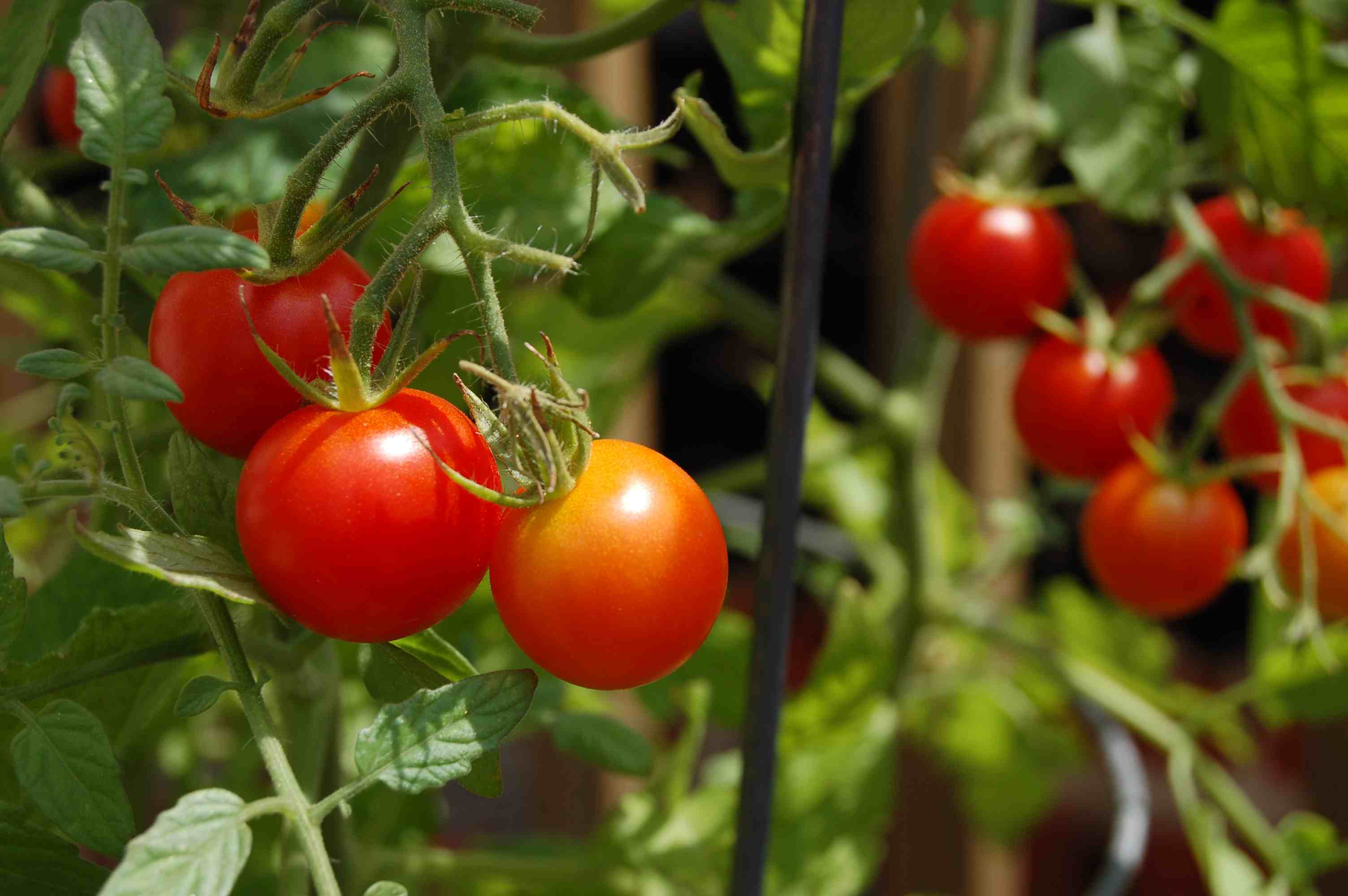 8 Impressive Ways to Growing more in Your Garden Space cherry tomatoes